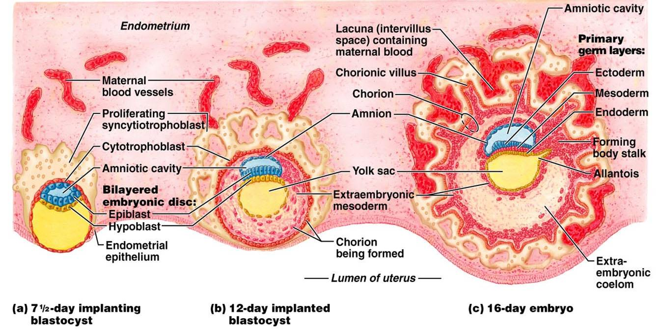 Implantation- Process, Events, Significance