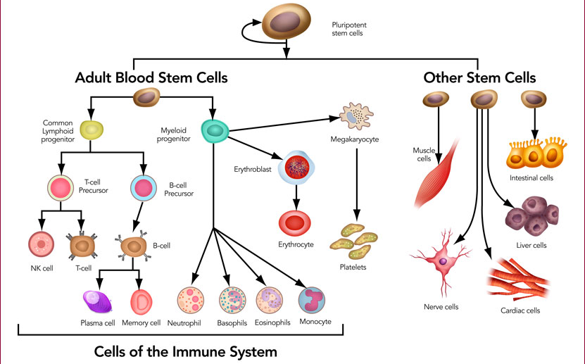 Stem Cells- Sources, Characteristics, Types, Uses