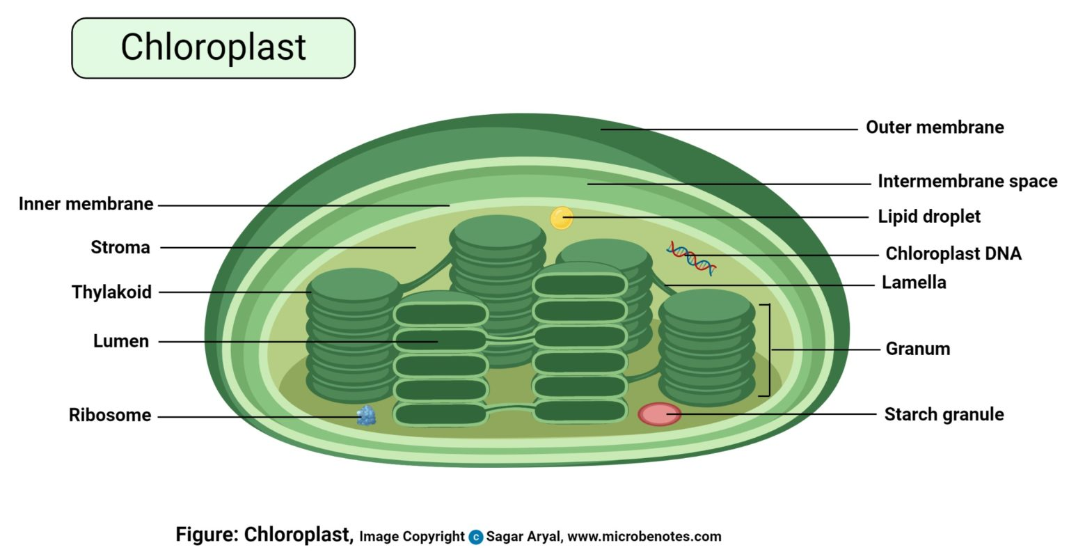 Plant cell- definition, labeled diagram, structure, parts ...