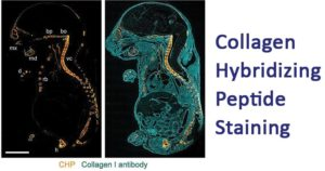 Collagen Hybridizing Peptide Staining