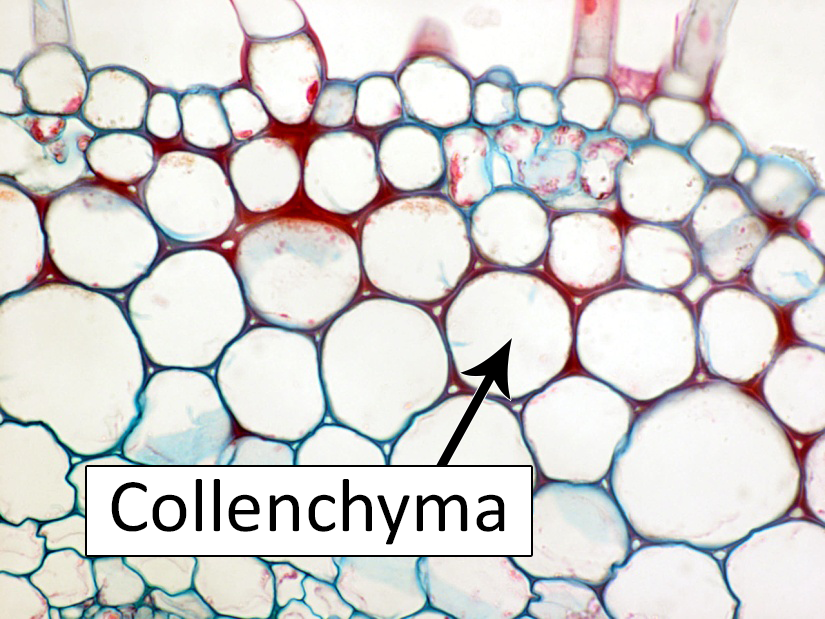 Collenchyma cells diagram