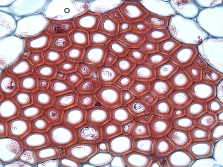 Cross section of sclerenchyma fibers