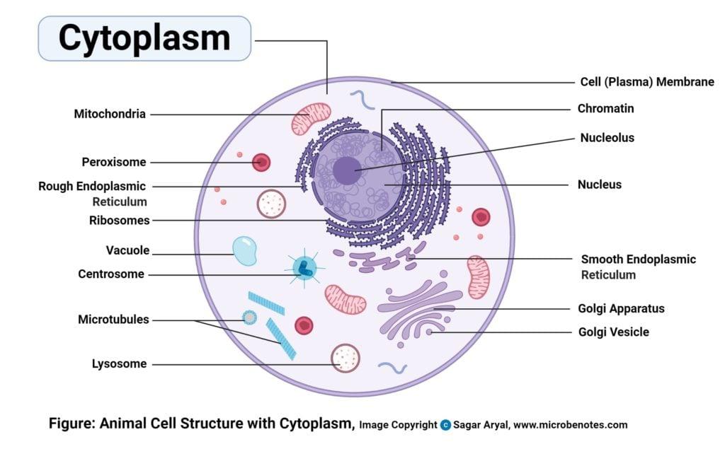 Cytoplasm Diagram