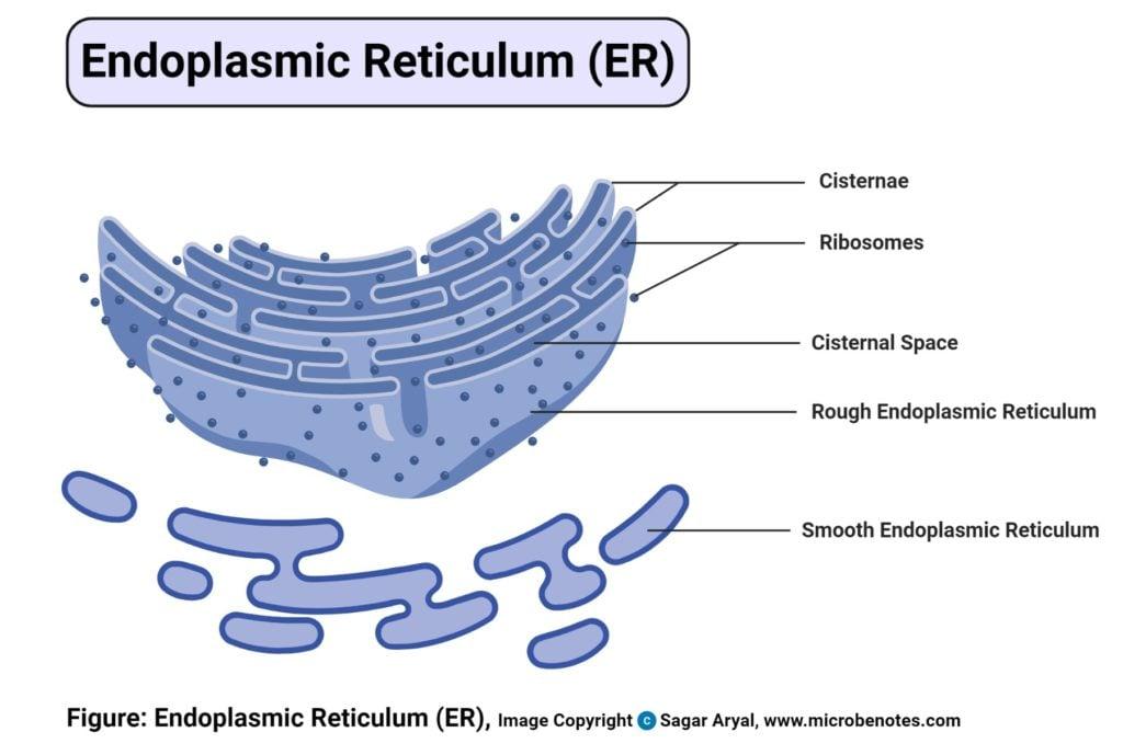 Endoplasmic Reticulum (ER) Diagram