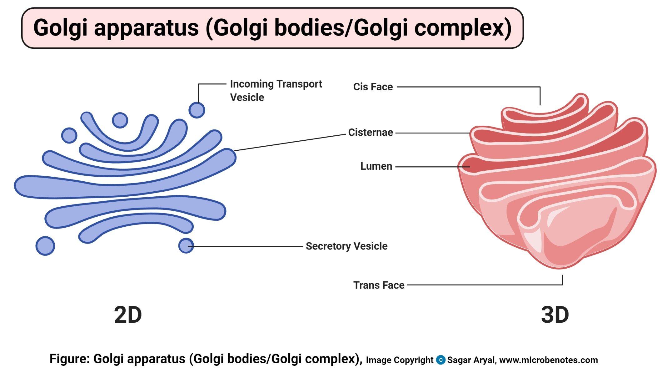 Golgi apparatus (Golgi bodies or Golgi complex) Diagram