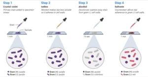Gram Staining Procedure