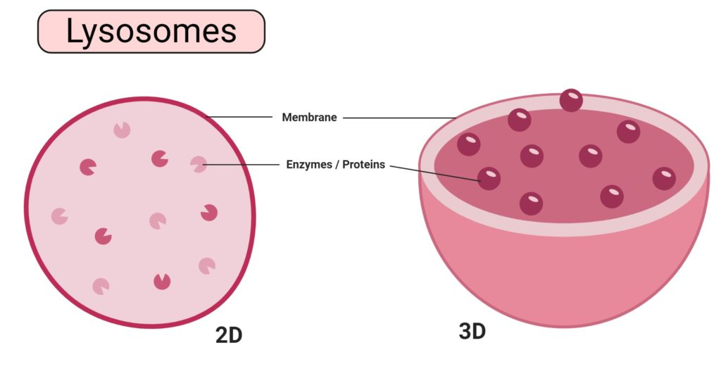Lysosomes Diagram