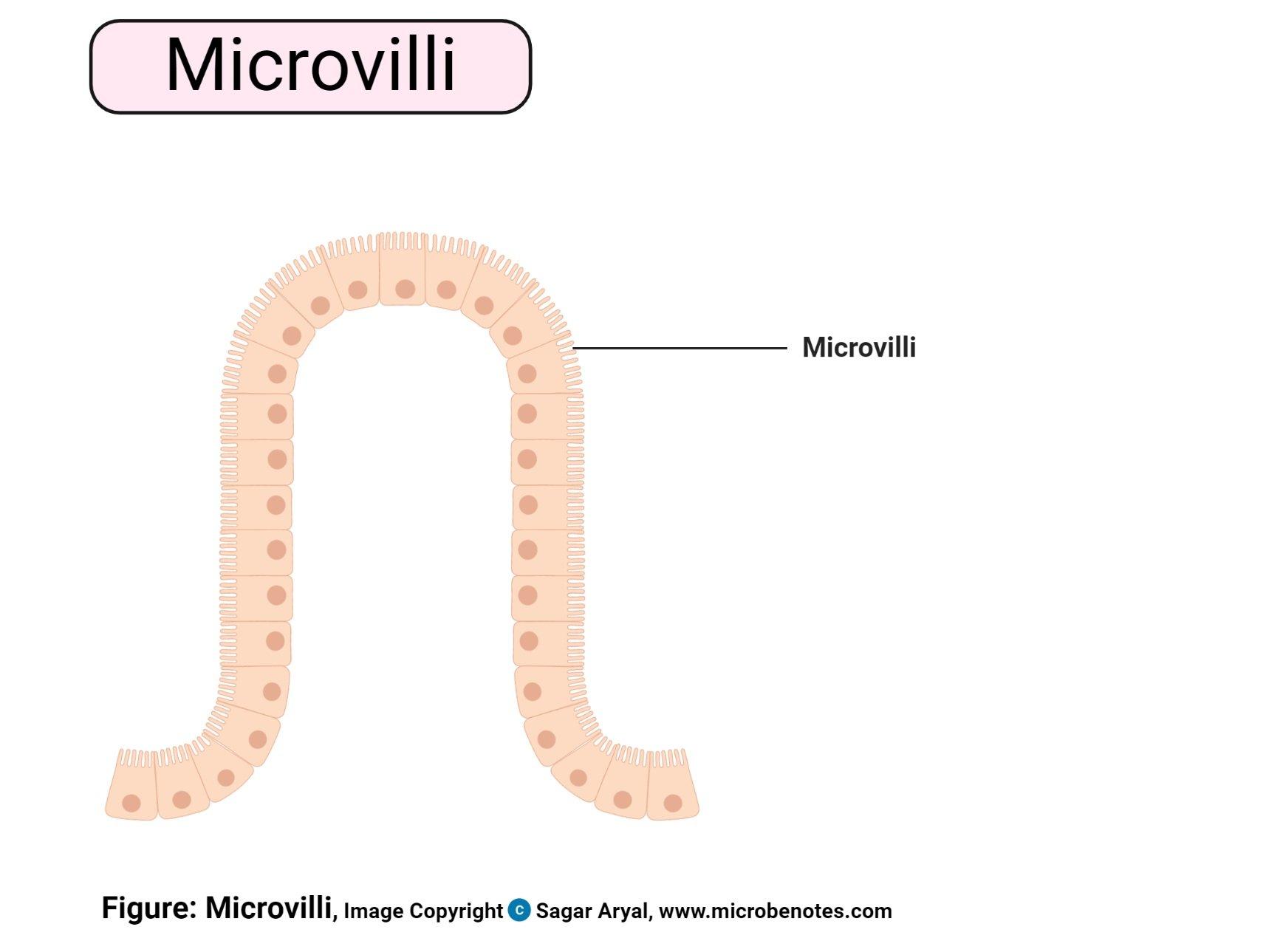 Microvilli Diagram
