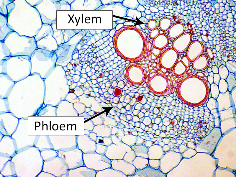 Phloem Cells diagram