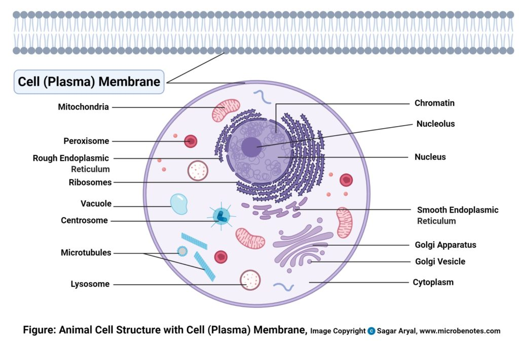 Plasma membrane (Cell membrane) Diagram