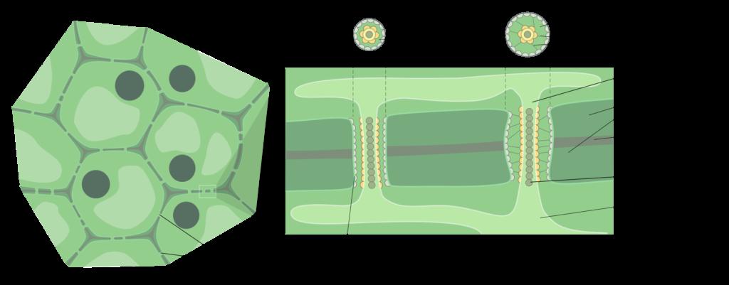 Plasmodesmata diagram
