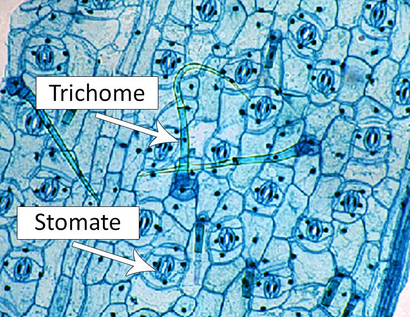 trichomes and stomata diagram