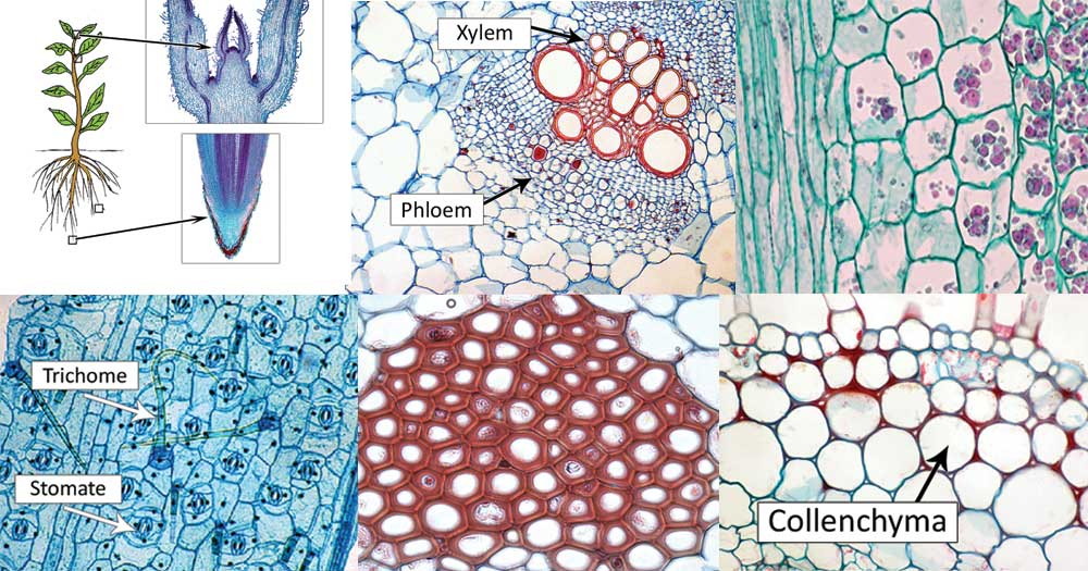 Types of Plant Cell