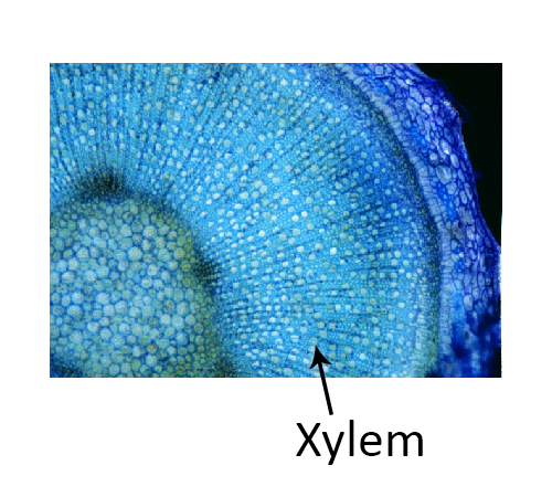 Xylem Cells diagram