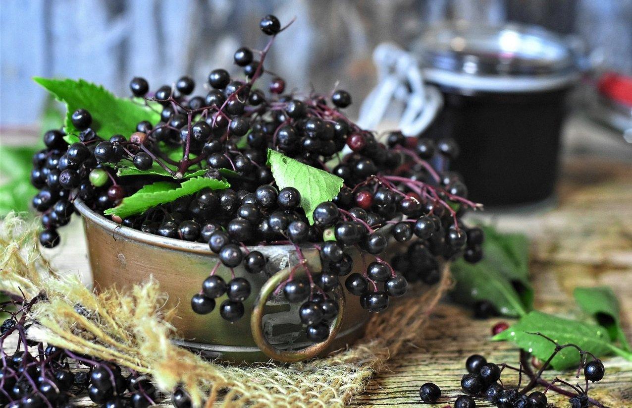 Elderberry as Immune Booster Food