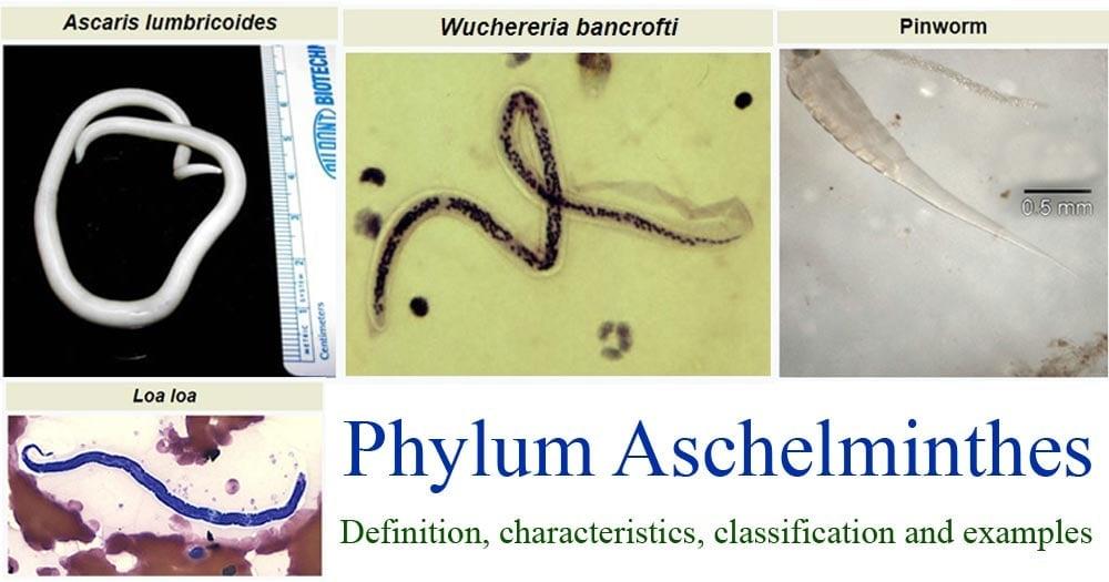 Phylum Aschelminthes