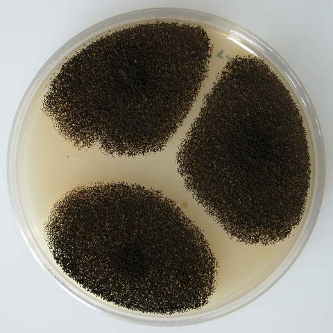 Aspergillus niger colony on Malt Extract Agar (MEA)