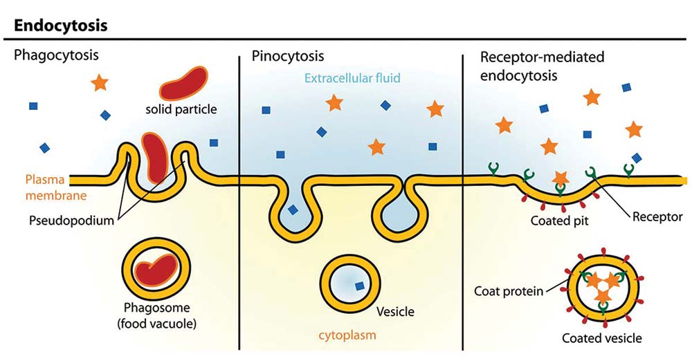 Endocytosis- Definition, Process, Types. Examples
