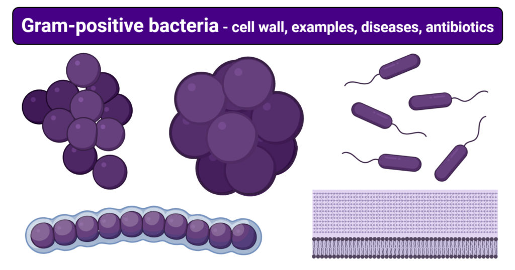 Gram-positive bacteria- cell wall, examples, diseases, antibiotics