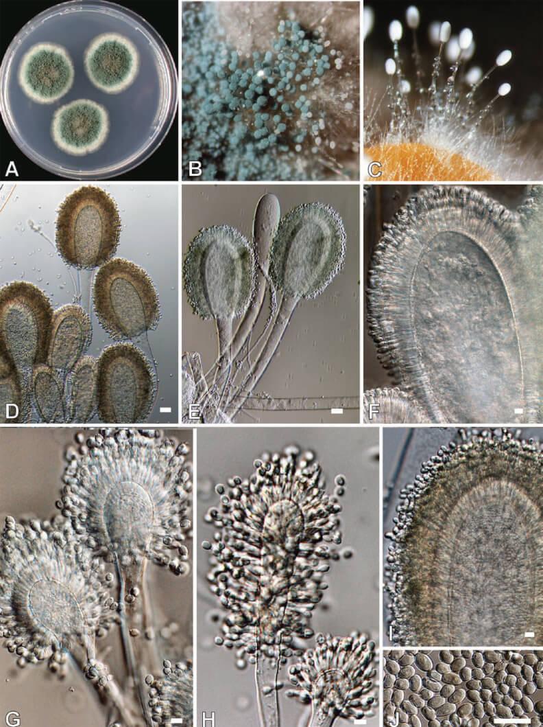 Morphology of Aspergillus clavatus