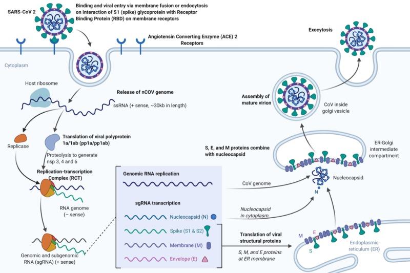 Replication of Coronavirus (SARS-CoV-2) (COVID-19)