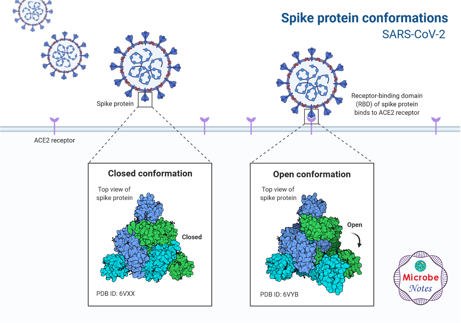 Spike Protein SARS-CoV-2