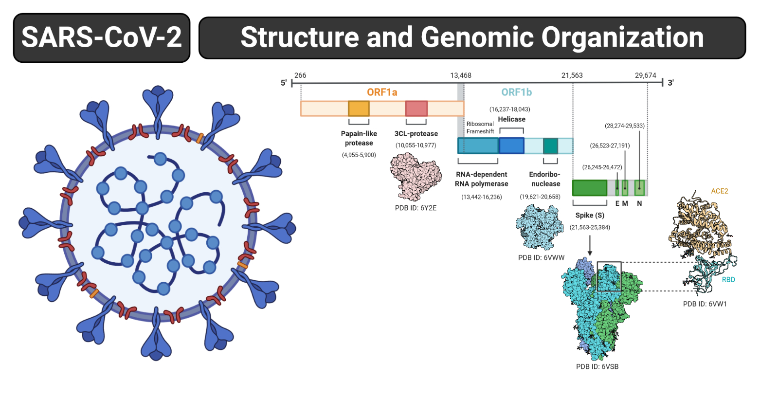 Structure and Genome of SARS-CoV-2 (COVID-19) with diagram