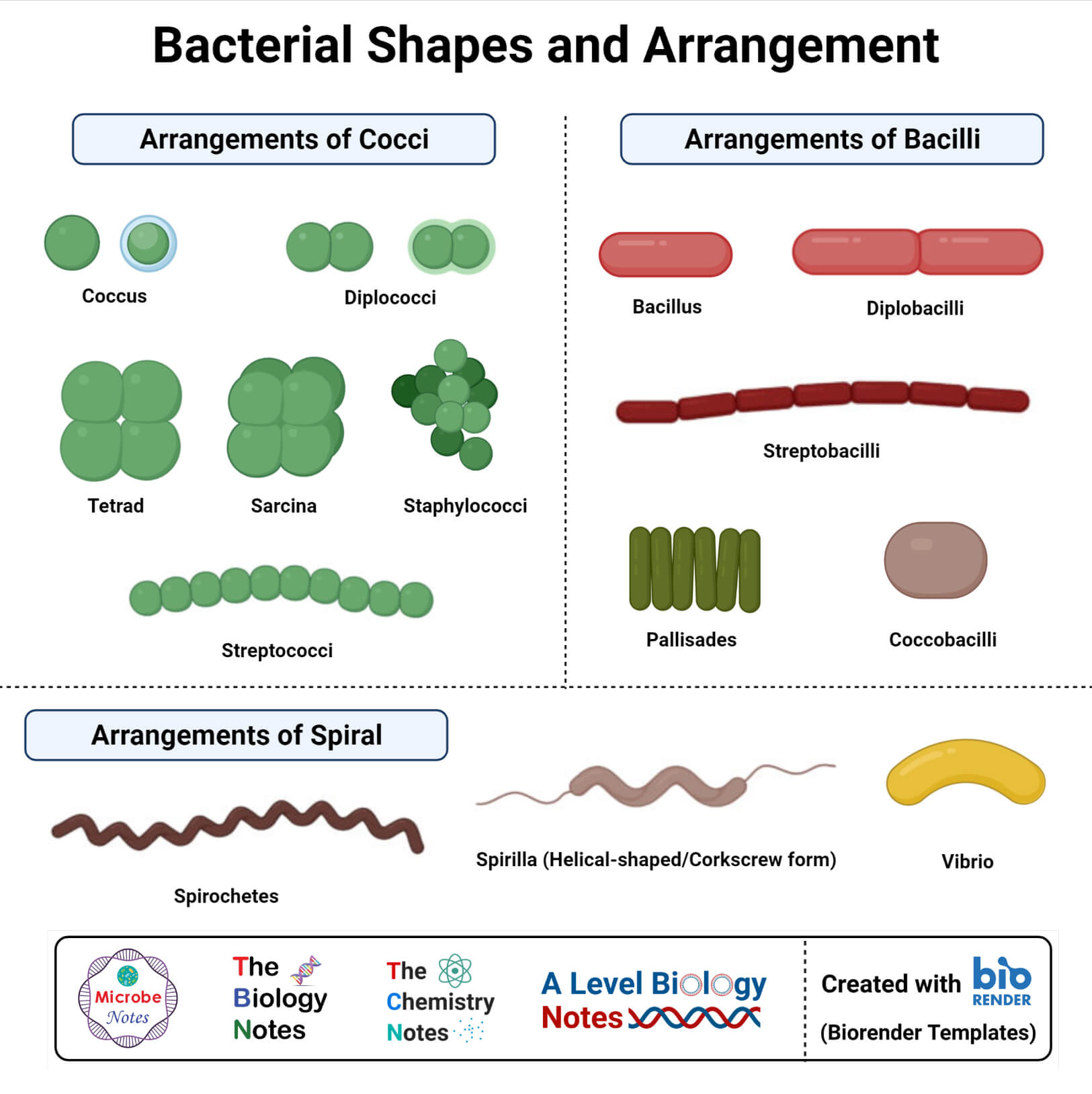 Morphology of Bacteria- Sizes, Shapes, Arrangements, Examples