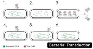 Bacterial Transduction- Definition, Principle, Steps, Examples