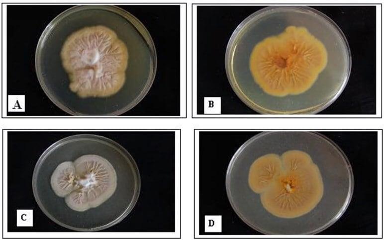 Cultural Characteristics of Epidermophyton floccosum