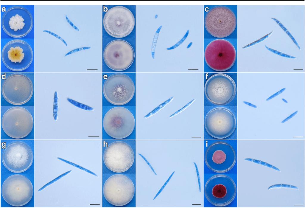 Cultural characteristics of Fusarium spp