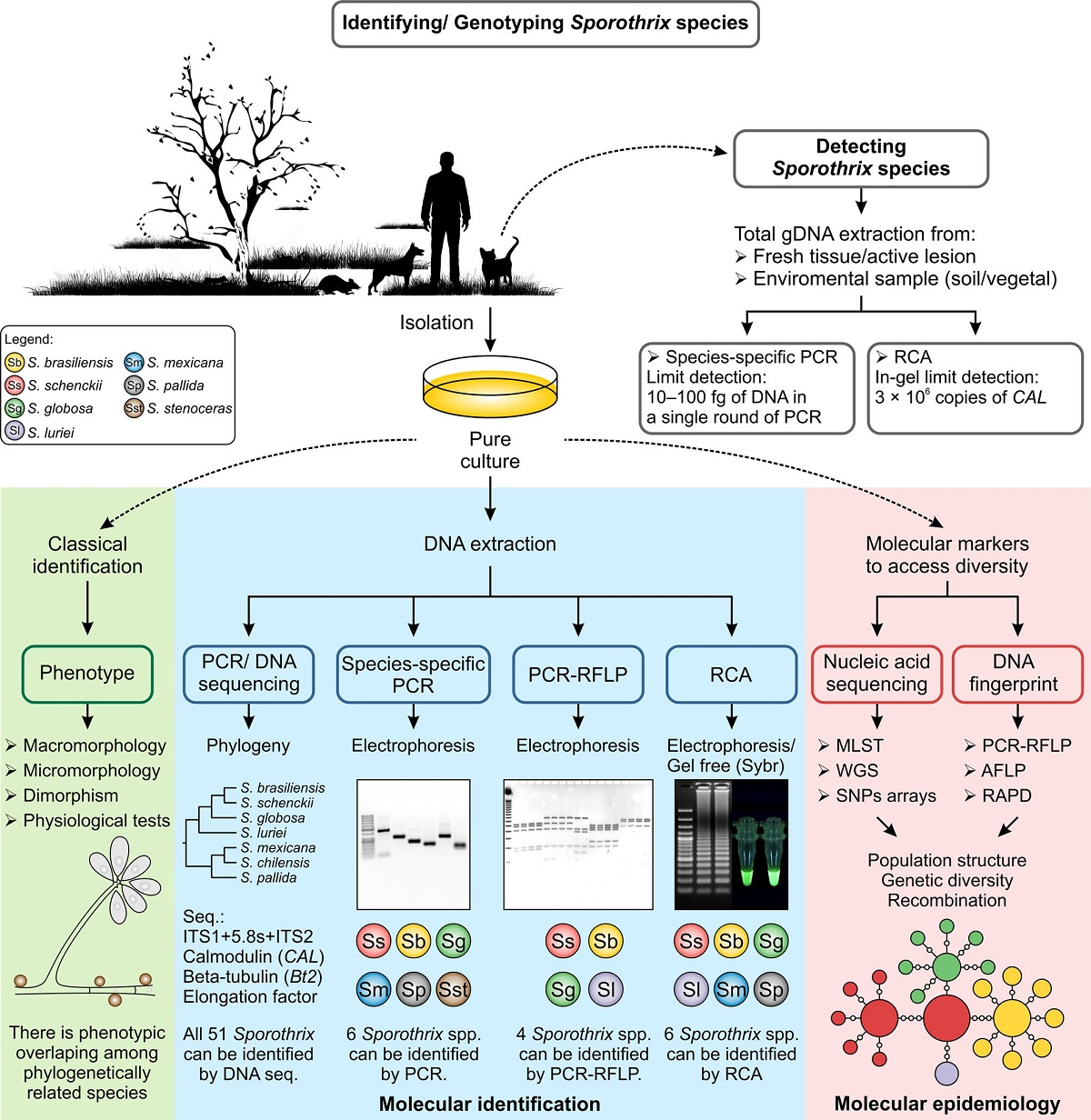 Diagnosis of Sporotrichosis