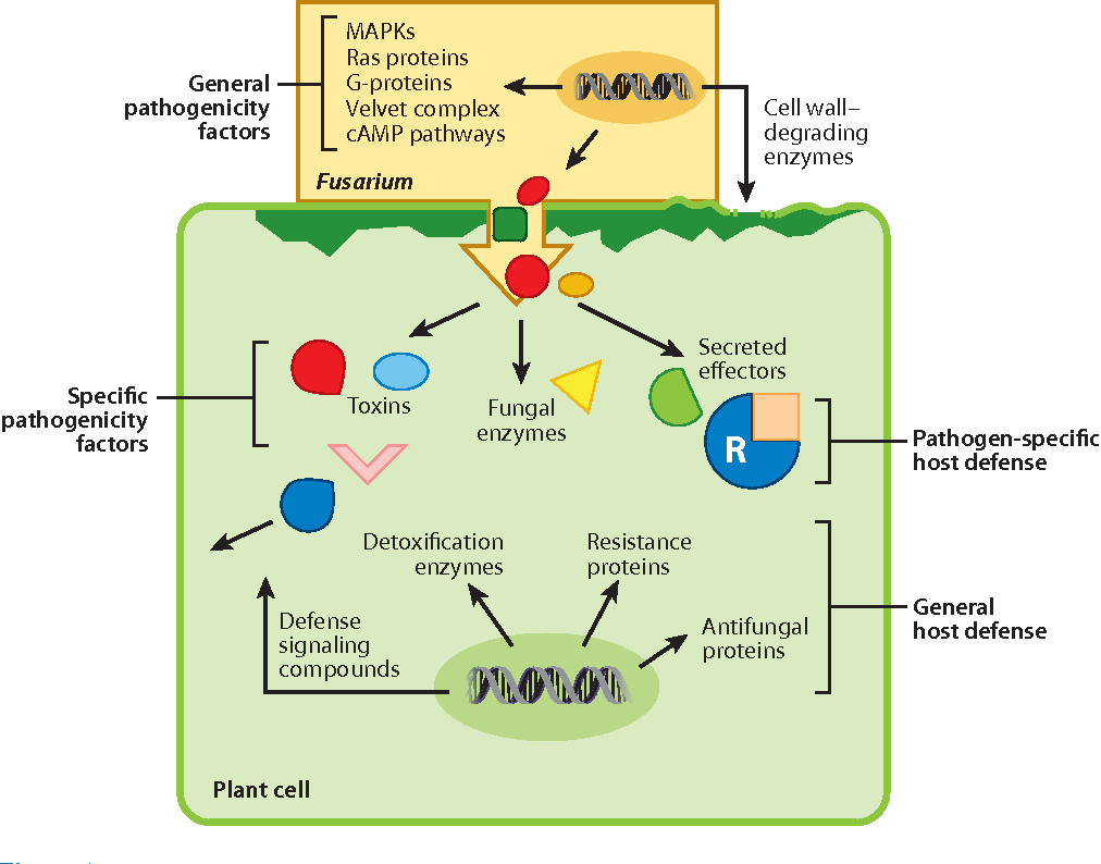 Fusarium pathogenicity and host defense mechanisms