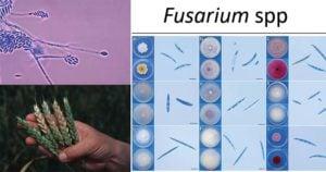 Fusarium spp