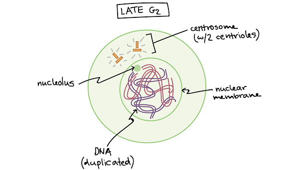 Interphase G2-phase or Post DNA synthesis phase