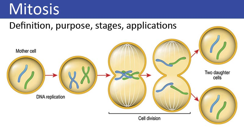 Mitosis- definition, purpose, stages, applications with diagram
