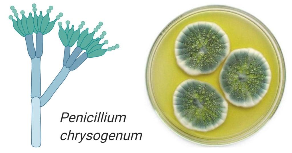 Penicillium chrysogenum