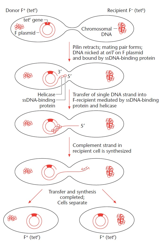 Process of Bacterial Conjugation