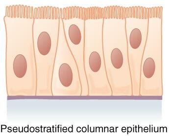 Pseudostratified columnar epithelium