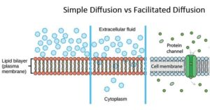 Simple Diffusion vs Facilitated Diffusion