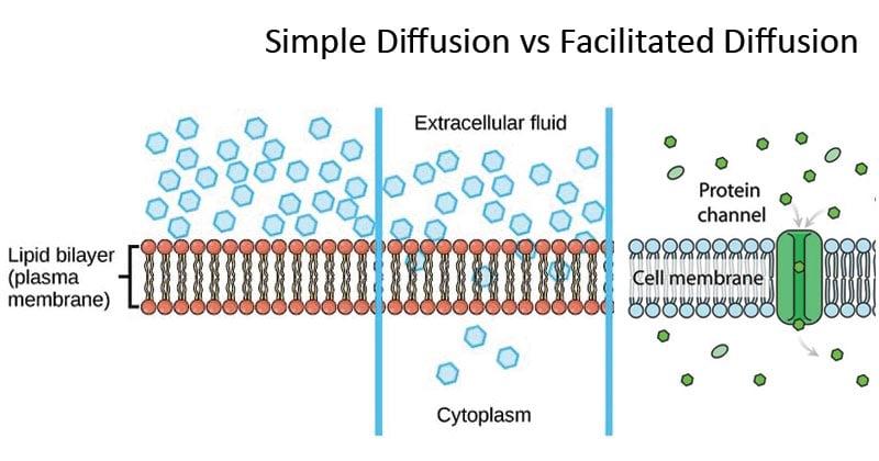 Simple Diffusion vs Facilitated Diffusion