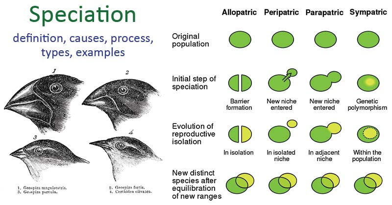 Speciation- definition, causes, process, types, examples