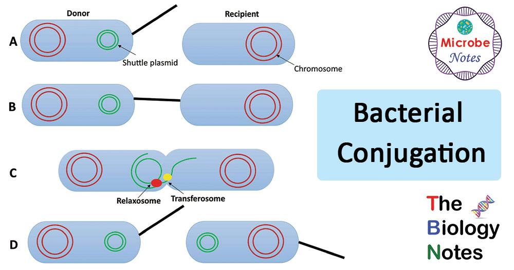 Steps or Process of Bacterial Conjugation