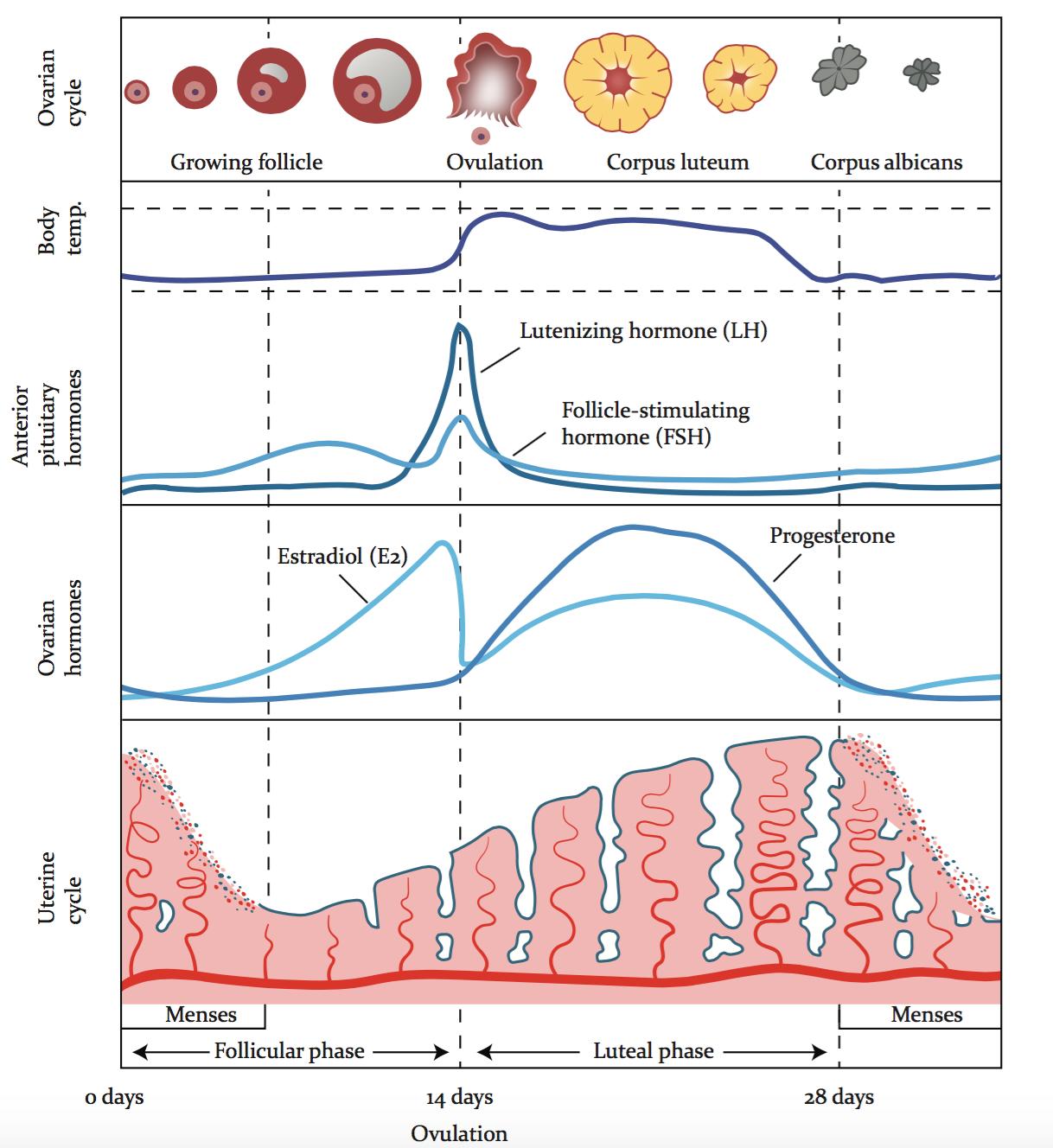 Summary of Menstrual Cycle