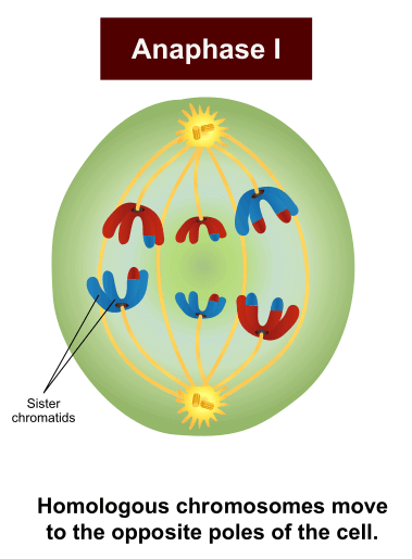 Anaphase I in Meiosis