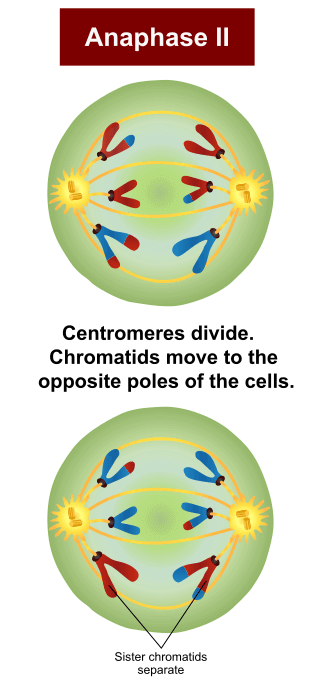 Anaphase II in Meiosis