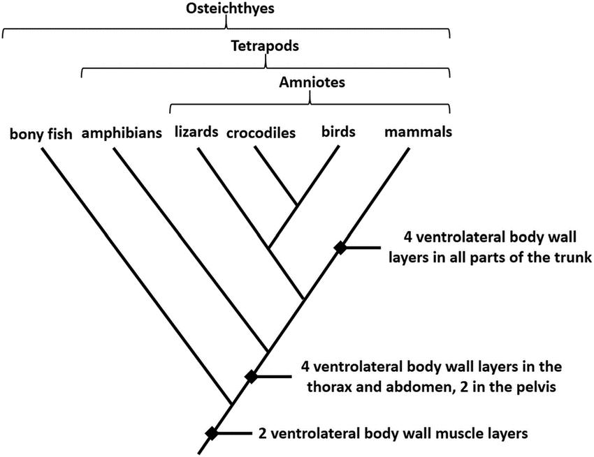 Cladogram of vertebrates