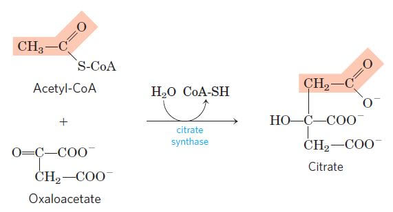 Condensation of acetyl CoA with oxaloacetate