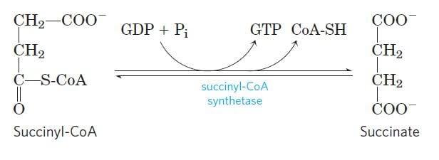 Conversion of succinyl-CoA into succinate