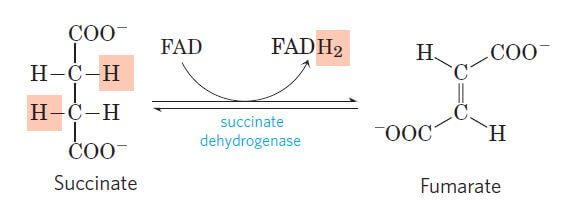 Dehydration of succinate to fumarate